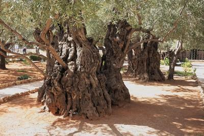 Olive trees in Garden of Gethsemane